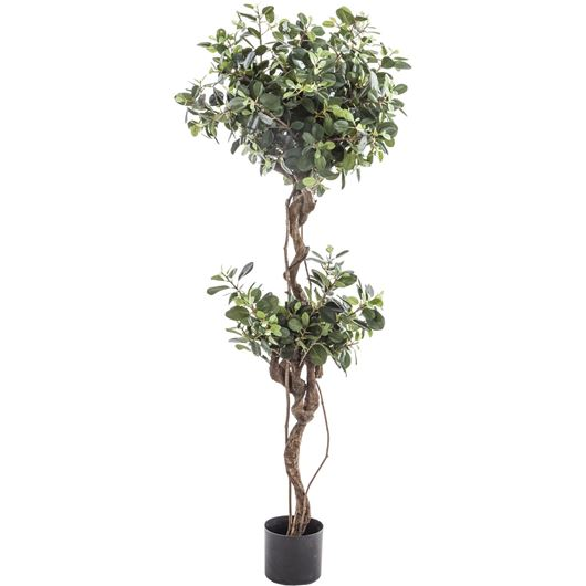 Picture of PANDA FICUS plant h165cm green