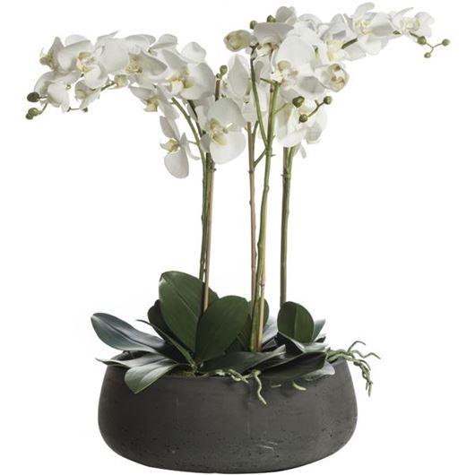 Picture of PHALAENOPSIS II pot h73cm white/dark grey